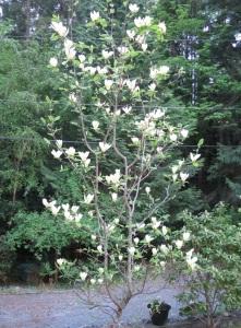 magnolia-elizabeth4